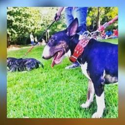 Bull terrier p/ cobertura