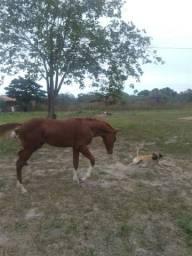 Quarto d milha com paint horse