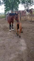 Égua parida a venda