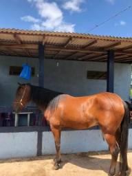 Para vender hoje Cavalo quarto de milha