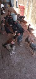 Frangunhos, gansos caipira e perus !!