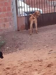 Cachorro Fila Brasileiro gigante