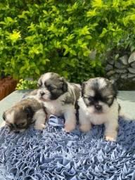 Maravilhosos filhotes de Shih tzu mini