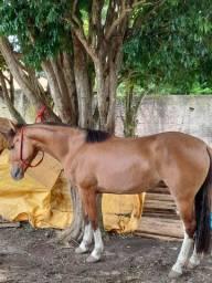 Potranca crioula registrada