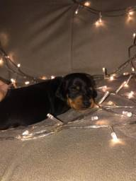Lindos dachshunds miniaturas puros!
