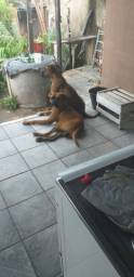 Cães da raça Box
