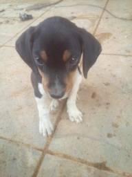 Beagle com basset 3 mess macho