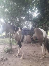 Campolino 6/7 anos, capado, muita laia, cavalo para homem, marcha picada e batida.
