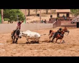 Cavalo QM Puro de direita campeão de várias vaquejadas