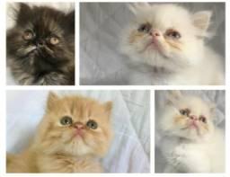Lindos gatos persas
