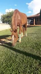Égua manga larga paulista