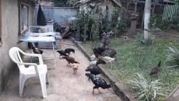 30 cada galinha fina