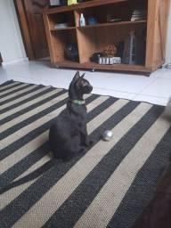 Lindo gato todo Black para adoção responsável. Castração garantida