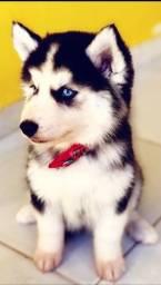 Husky Siberiano Wooly- Pais com Pedigree - Barreiras-BA
