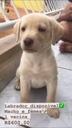 Filhote de cachorro da raça labrador