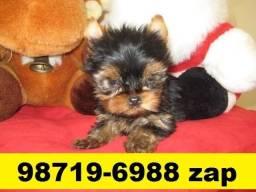 Canil Filhotes Cães Padrão Mini BH Yorkshire Maltês Lhasa Poodle Basset Shihtzu