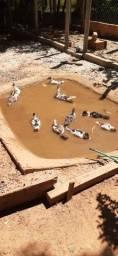 Filhotes de patos, 20 filhotes, 3 meses.