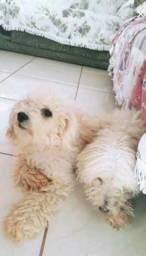 Vendo poodle mini toy
