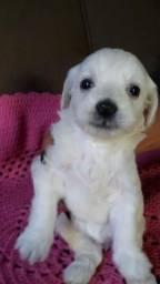 Vendo lindos poodle