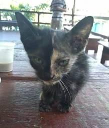 Adoção gato quimera