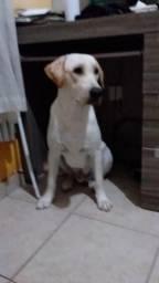 Labrador disponível para cruza