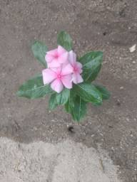 Kit sementes de rosas Boa noite coloridas
