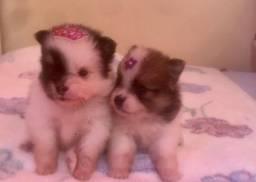 Filhotes de spitz ( lulu)
