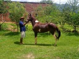 pra vende logo de r$ 7000 pô r$ 6000 uma poldra mestiça campolino com quarto de milha.
