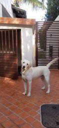 Labrador fêmea 1 ano (muito dócil).