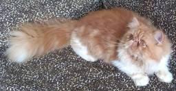 Gato persa vermelho com branco