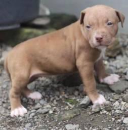 Adoráveis filhotes de Pitbull
