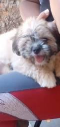Vendo um cachorrio Shih Tzu