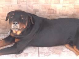 Rottweiler padreador com pedigree!!!