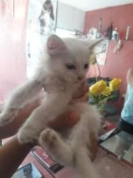 Gato angora branco para doar