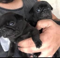 Pugs black com pedigre