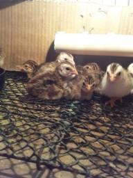 Vendo 10 filhotes  de saquê  (galinha da angola)