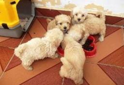 Doa-se filhotes de poodle toy. Urgente