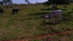 Fazenda à venda com 90 alqueires em Ituiutaba MG