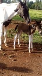 Burro Pampa-filho de égua Mangalarga pampa com jumento pêra baio