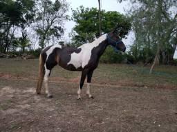 Égua Mangalarga Paulista Pampa sem registro