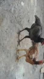 3 galinhas de raça canarinho