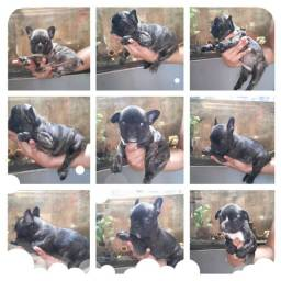 Reservas Aberta!  Filhotes de Bulldog Francês