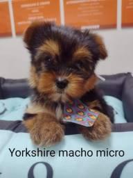Yorkshire micro, fofinhos