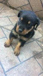 Rottweile