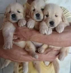 Filhote de Golden Retriever