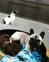 Puppies French Bulldog - para venda