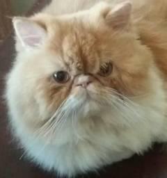 Ofereço Gato Padreador Persa top show (Para cruzar) Gato para acasalamento
