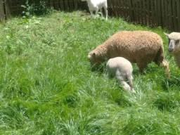 Confira linda ovelha com cria ao pé