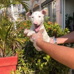 Bull Terrier / Temos lojas físicas em são paulo venha nos conhecer