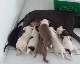 Filhotes pitbull